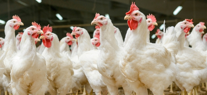 Influenza aviaria, da Bruxelles via libera allo stanziamento di altri 32,15 milioni per gli allevatori colpiti dall'emergenza