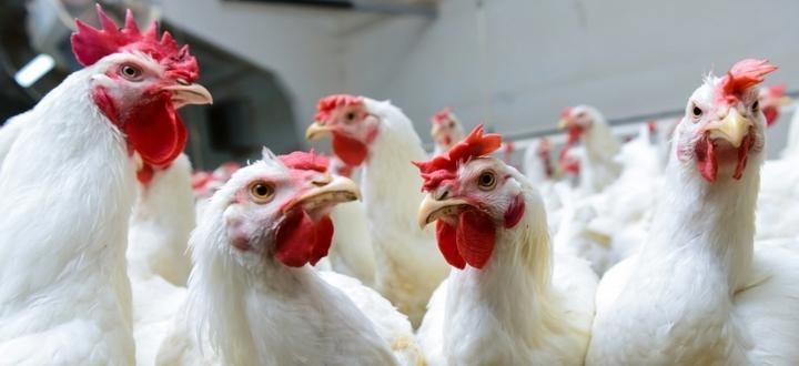 Aggiornamenti situazione influenza aviaria