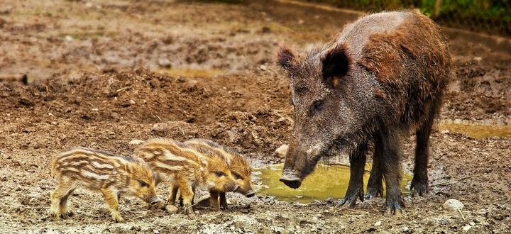 """Fauna selvatica, Confagricoltura Brescia: """"Necessario riaprire subito la caccia, le maggiori criticità dai cinghiali"""""""