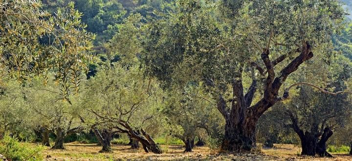 """Oggi la Giornata mondiale dell'ulivo promossa dall'Unesco Garbelli: """"Olivicoltura, un'eccellenza dell'agroalimentare bresciano che contraddistingue in nostri laghi"""""""