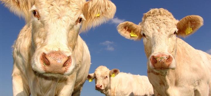 Confagricoltura Brescia al lavoro per sostenere il settore della carne bovina rossa e l'intera filiera, in difficoltà da un ventennio e particolarmente colpita dalla pandemia