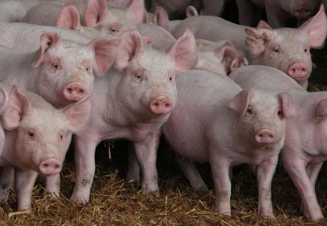 Il presidente Mario Guidi stigmatizza la pubblicazione del video girato in un allevamento di maiali su il Corriere.it