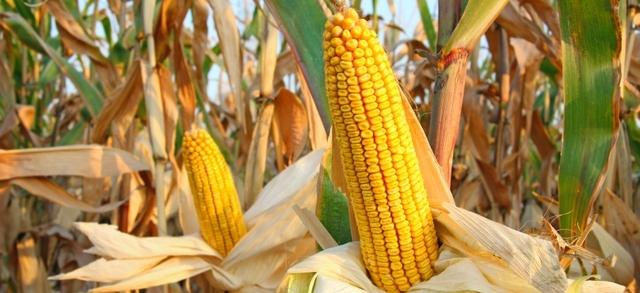 """Aflatossine? """"Con la cisgenesi elimineremmo per sempre il problema per i nostri allevatori e per i consumatori"""""""