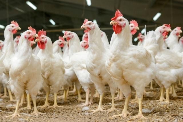 """Avicoltura, il presidente di settore Galofaro contro gli attacchi in tv: """"Venite nei nostri allevamenti, non abbiamo nulla da nascondere"""""""