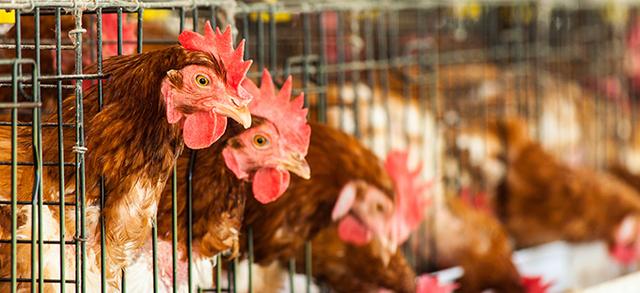 Danni da aviaria, è arrivato alla conclusione l'iter per gli indennizzi comunitari e nazionali alle imprese