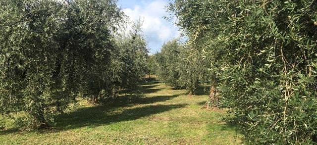 """Al via la raccolta delle olive, Garbelli: """"Dopo il terribile 2019, auspichiamo che questo possa essere l'anno della rinascita"""""""