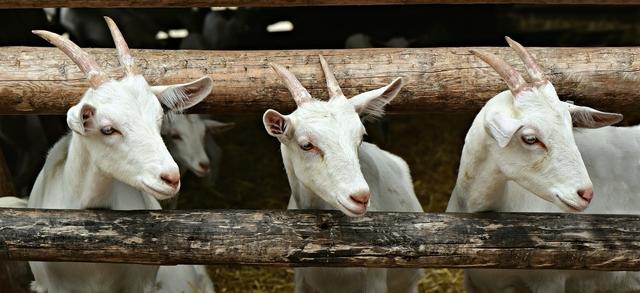 Crollo del settore degli ovi-caprini in vista della Pasqua: ristoranti chiusi e nessun acquisto di agnelli e capretti, gli allevatori bresciani di nuovo in grande sofferenza