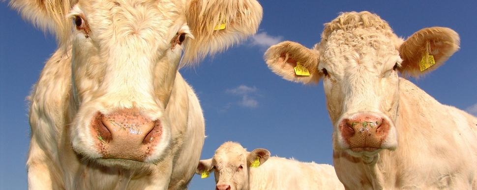 Zootecnia da carne bresciana
